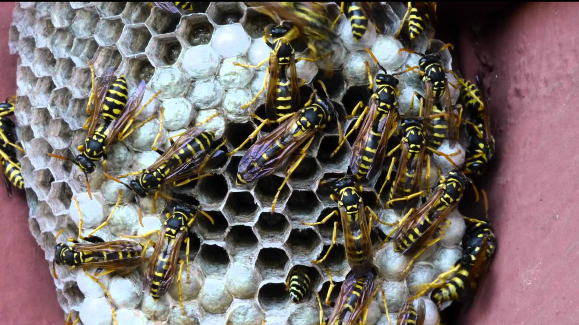 Yellow Jackets or Honeybees  Honey Bee Removal