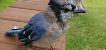 A Bluejay Named Quigley…